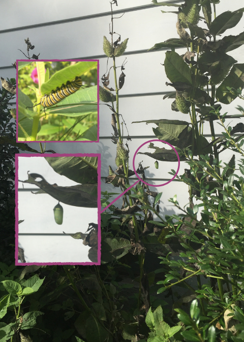 A Monarch caterpillar munches milkweed while another sleeps in her chrysalis.